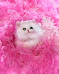 White kitty in pink feathers