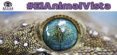VUELVE.....#ElAnimalVista, continuamos repasando los ojos más bellos del mundo animal. En este caso esta especie tiene párpados fijos, lamen sus ojos para limpiarlos y mantenerlos húmedos. Dentro de cada iris, hay una lente fija que se agranda en la oscuridad, por lo que sus ojos son 300 veces más sensibles que los de los seres humanos y tienen una inmejorable visión nocturna. ¿De qué animal estamos hablando?