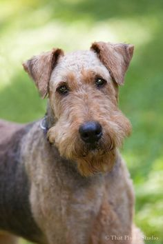 Faith is a beautiful Airedale Terrier looking for a new forever home in Howell, MI! Check out her page for adoption information!