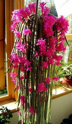 pics ratail cactus | Room wood cactus Rat tail Cactus (Aporocactus )