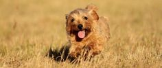 Norfolk Terrier What's Good About Em ... on Pinterest | Cai...