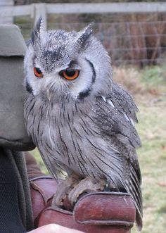 Owls Pictures (49) by al7n6awi, via Flickr