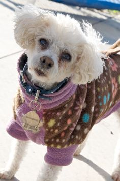 Snow's forecast for this week: break out the Fido Fleece! Home for Life's senior toy poodle Molly models the latest in fleece dog coats: fidofleece.com. More about Molly: http://www.homeforlife.org/dogbio_molly.htm