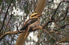 Laughing Kookaburra (Dacelo novaeguineae) A Kookaburra sitting on a branch