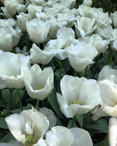 #amsterdam#netherlands#holland#holanda#nature#landscape#green#tulips#holidays#holiday#white#spring#flowers#flowersofinstagram#ig_netherlands#igersnetherlands#ig_amsterdam#igersamsterdam#discovereurope#ig_europe#igerseurope#europe#travel#traveling#traveler#travelgram#travelling#trip#eurotrip#europa by alitzelsoleil