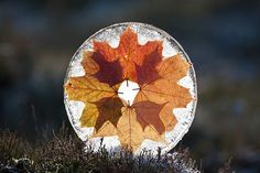 Maple Leaf Ice Disc