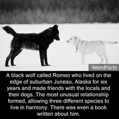 A black wolf called Romeo who lived on the edge of suburban Juneau, Alaska for six years and made friends with the locals and their dogs. The most unusual relationship formed, allowing three different...