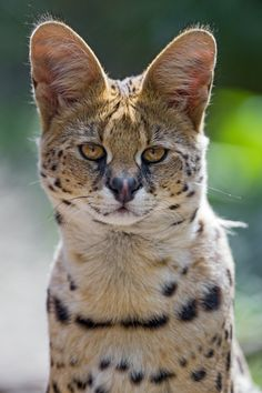 Very serious serval by Tambako The Jaguar Fluffy Animals, Cute Animals, Wild Animals, Big Cats, Cats And Kittens, Kitty Cats, Big Cat Species, Black Footed Cat, Cats That Dont Shed