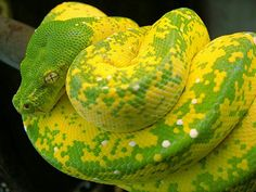 The prettiest snake in my opinion! Pretty Snakes, Cool Snakes, Colorful Snakes, Beautiful Snakes, Animals Beautiful, Scary Snakes, Beautiful Things, Yellow Snake, Super Snake