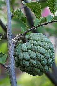 Bildergebnis für pflaumen bonsai samen