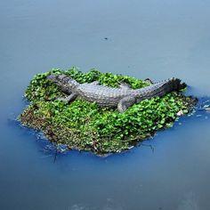 Filhote de jacaré no bercinho. Meigo? Baby alligator in the creadle. Cute? #abussolaquebrada #viajar #unidosporai #unitedaround #viagem #natgeotravel #traveler #natgeo #recreiodosbandeirantes #riodejaneiro #travel #animal
