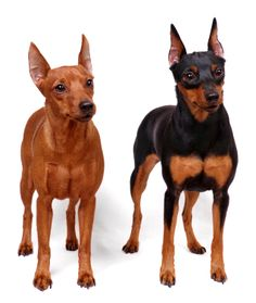 """Miniature Pinscher: The Miniature Pinscher has been nicknamed """"The King of the Toys."""" Miniature Pinschers (or Min Pins) are very small dogs, but they do not know this."""