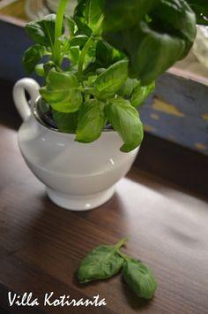 Vanha kermakko ruukkuna basilikalle. / Old creamer as a pot for basil.