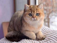 Британская короткошерстная кошка (окрас золотой тикированный)♥
