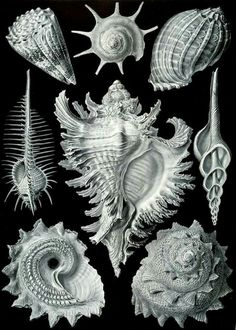 illustration by Ernst Haeckel. julienfoulatier: Vintage illustration by Ernst Haeckel. Ernst Haeckel Art, Art Et Nature, Natural Form Art, Victorian Illustration, Seashell Art, Norman Rockwell, Stretched Canvas Prints, Oeuvre D'art, Art Forms
