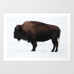 Bison<br/> <br/> Photo ©Carl Brownell/Joe-Lynn Design<br/> Winnipeg, MB<br/> Visit Online at www.joe-lynn.com<br/> <br/> bison, plains, prairie, animal, Buffalo