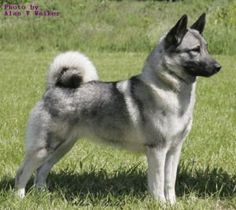 13 Best Siberian Husky Norwegian