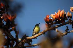 Purple rumped sunbird Photo by Raman Oza — National Geographic Your Shot