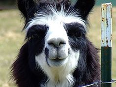 Margret the Famous Smiling Alpaca by Sam Lamp Photography