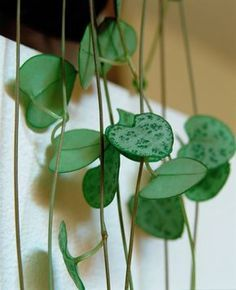 The most beautiful hanging plants for the room - The Leuchterblume (Ceropegia woodii) likes bright locations. Balcony Plants, Patio Plants, Garden Planters, Potted Plants, Cactus Plants, Indoor Plants, House Plants, Garden Trellis, Diy Planters