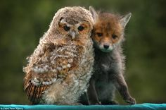 Unlikely Animal Friends A tawny owl and fox cub form unlikely duo! An owl chick and fox cub have built up an unlikely rapport after each was rescued from attacks by predatory birds. Animals And Pets, Baby Animals, Funny Animals, Cute Animals, Nature Animals, Wild Animals, Beautiful Birds, Animals Beautiful, Unlikely Animal Friends