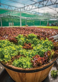 Share: Written by Catherine E. Toth Photography by Patrick Kelley You wouldn't expect lettuce growing on a tennis court. But that's exactly what you'd find at the Grand Hyatt Kaua'i Resort & Spa in Po'ipu–. The hotel converted one of its 4,000-square-foot tennis courts into a greenhouse, growing several varieties of lettuce such as green and red oak …