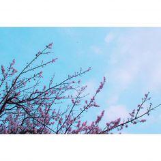 봄 비가 내린 뒤에 하늘 . . #sky #skyporn #flower #spring #sakura #봄 #꽃 #하늘 #canon #벚꽃 #개나리