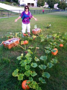 I grew pumpkins in two GrowBoxes!!!!!  I never had a green thumb but a couple years ago I bought GrowBoxes and my mom said my grandma would be proud ( high praise for me!). My pumpkins started spreading on my deck and my husband had to move them to the lawn!!  They just took off!!!! .....look at how many I have!!!!!  I can't believe it!!!!  Thank you so much!!!!!  Marie O., Latham, NY