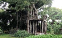 Banyan treehouse near Hawi.