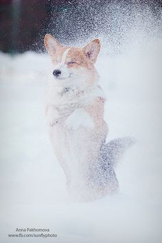 Corgi by © ania.neko, via Flickr.com