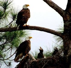 Bald Eagles and babies in their nest! Love Birds, Beautiful Birds, Animals Beautiful, Eagle Pictures, Animal Pictures, Eagle Cam, Eagle Nest, Eagle Wings, Mundo Animal