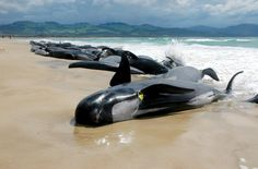 In late 2005, Australia's Marion Bay was littered with massive pilot whale carcasses in southern Tasmania. A stranding of this sized caused Australian advocacy groups to jump into action to try and rescue whatever whales they could. Despite their best efforts, over 100 pilot whales died.