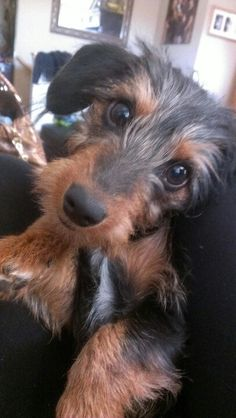 Oh My Gosh A Dachshund Mixed With A Yorkie Is Called A Dorkie And