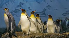 As 15 curiosidades sobre os pinguins