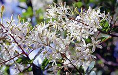 Bursaria spinosa - A matter of birds, barbs and butterflies