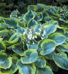 Hosta 'Frances Williams' Corrugated dark green leaves with contrasting white margin. Shade Garden, Garden Plants, Flower Gardening, Hosta Elegans, Hosta Frances Williams, Hosta Plants For Sale, Green Leaves, Plant Leaves, Big Leaves