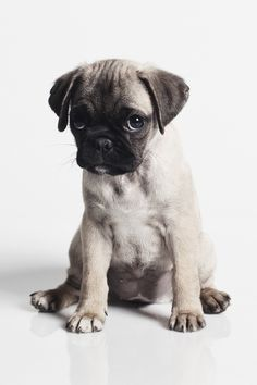 Such a cute little pug puppy i could just eat it up! Not literally, tho