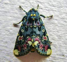 Lilly moth Besides Lady Bugs, I think Moths are the only insects I'll ever find pretty! Beautiful Creatures, Animals Beautiful, Cute Animals, Beautiful Bugs, Beautiful Butterflies, Gorgeous Gorgeous, Simply Beautiful, Absolutely Stunning, Beautiful Flowers