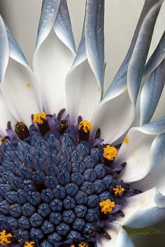 Osteospermum flower Beautiful (via TumbleOn)