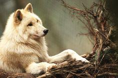 .white wolf, so beautiful
