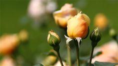 #rose #autumn #flowers #ig_flowers #薔薇