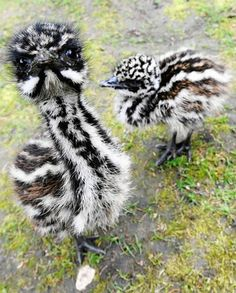Baby Emus – Kruemel and Cockie    Emu chicks Kruemel (L) and Cockie pose for a picture on May 18, 2010 at the Tierpark zoo in Solingen, western Germany. Kruemel hatched out of the egg on April 30, Cockie on May 1, 2010. The flightless birds are native to Australia.