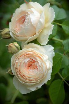 Snowshoe Hare Rose Flowers Pink Roses Pretty Pastel Orange