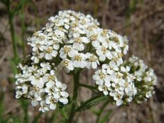 Kouzelné bylinky - Řebříček obecný