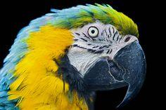 Nice macaw portrait by Tambako the Jaguar, via Flickr
