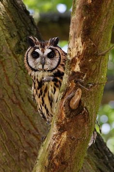 South American striped owl