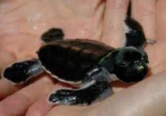 Pug Turtle