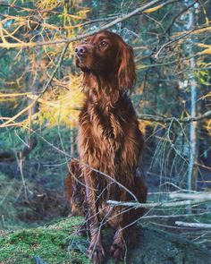 Among The Trees We Wonder Irish Setter, Boxer Dogs, Doggies, Big Dogs, I Love Dogs, Animals And Pets, Cute Animals, Red And White Setter, Pointer Dog