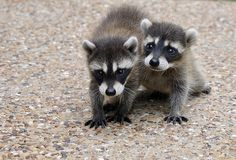 magicalnaturetour:  They were so cute (by bsheridan1959) ~ Raccoon babies :)