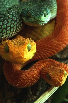 African Bush Vipers. So pretty with their cute little dragon faces and striking colors. But so deadly.